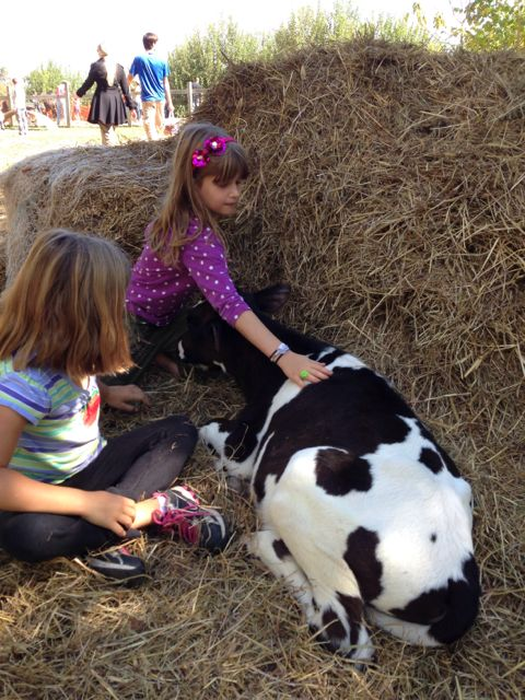 M petting cow